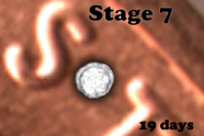 Stage 7
